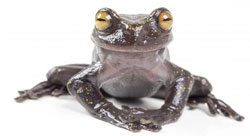 Newly discovered tree frog in Ecuador.