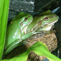 Frogs being cared for by Marie and Di