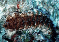 Beware the toothed sea cucumbers