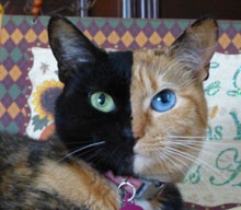 This cat is a chimera, half and half