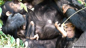 Chimp care for disabled offspring