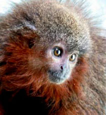 Newly discovered monkey purrs like a cat