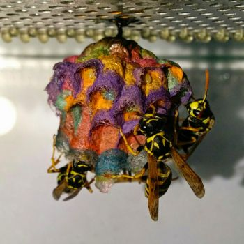 Wasps make a rainbow nest from coloured construction paper