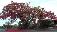 Flowering tree in Mackay