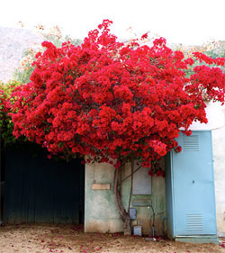A beautiful red tree