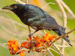 The spangled drongo which visits Diana Kupke in Mackay